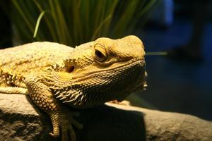 Bearded dragon info