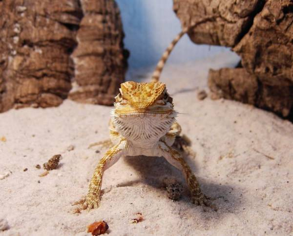 3 Reasons Why Your Bearded Dragon Is Digging | Bearded ...