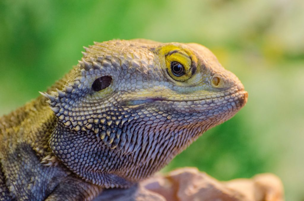bearded dragon head nod