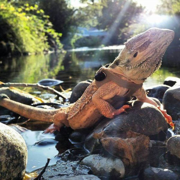 The 10 Best Bearded Dragon Toys And Activities | Bearded ...