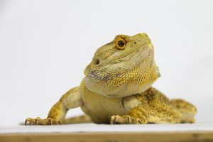 how to tame down a bearded dragon quickly