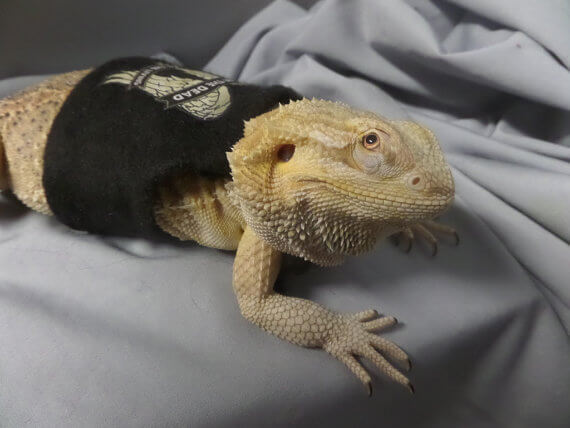 Bearded Dragon Harness: 5 Masterpieces You Must See | Bearded Dragon