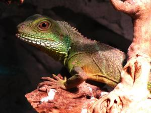 How To Take Care Of A Chinese Water Dragon