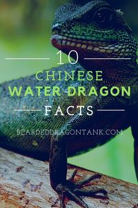 10 Chinese Water Dragon Facts