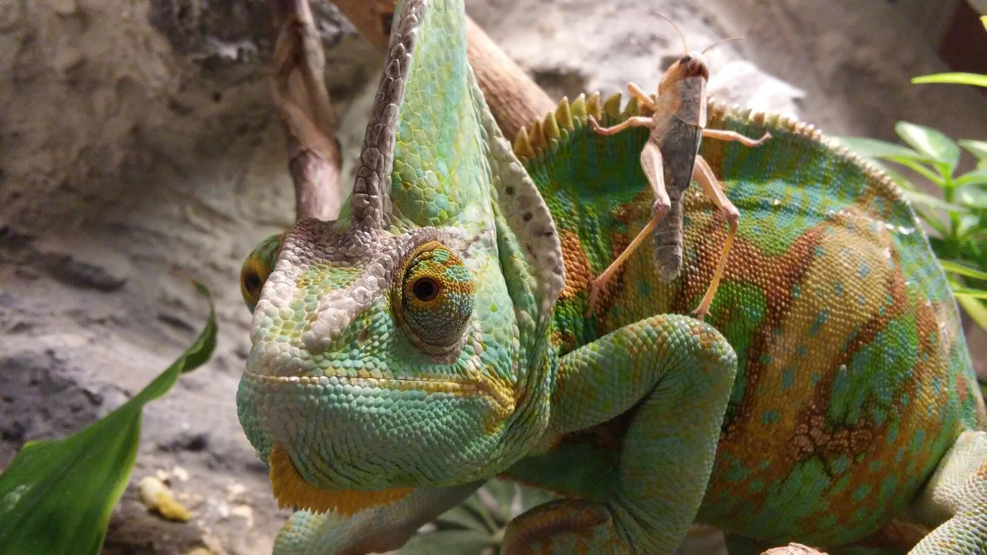 Jemen chameleon diet