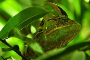 veiled chameleon cage