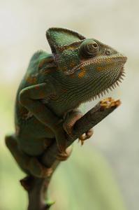 Veiled chameleon habitat