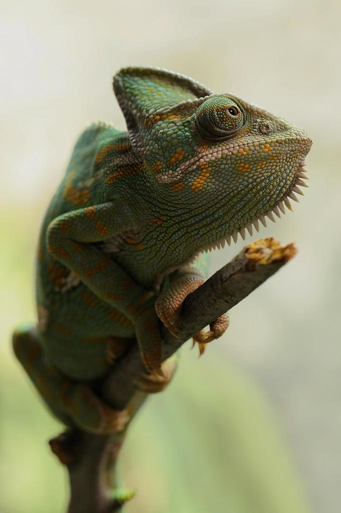 Making Your Own Veiled Chameleon Cage & How To Set Up The Perfect Veiled Chameleon Cage   Bearded Dragon Tank azcodes.com