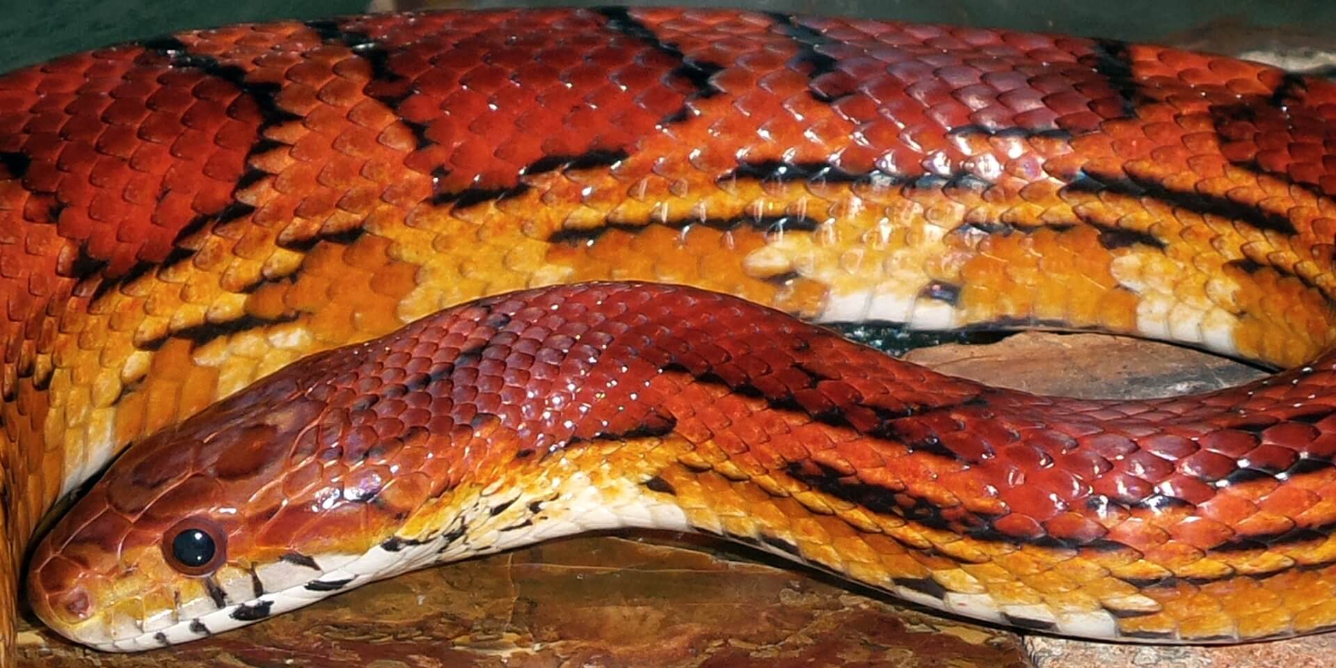 corn snake temperature
