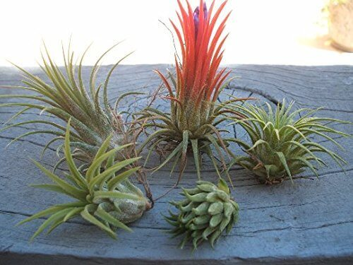 5 Pack Assorted Tillandsia Ionantha