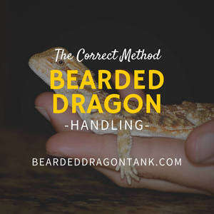 Bearded Dragon Handling The Right Way