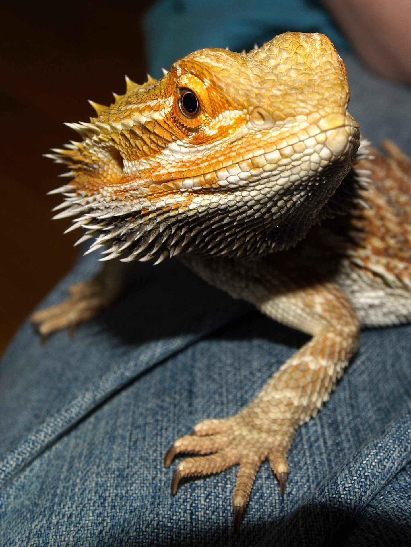 bearded dragon salmonella