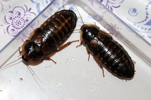 Adult Dubia Roaches 10 Females & 5 Males