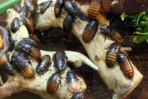 breeding dubia roaches
