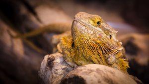 Bearded Dragon In Natural Habitat