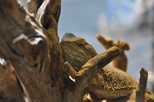 bearded dragon brumation signs
