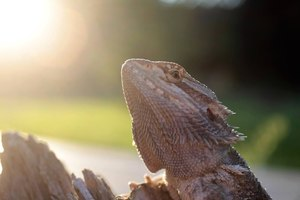 when do bearded dragons hibernate