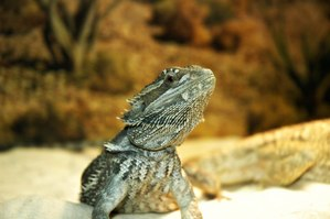 bearded dragon age