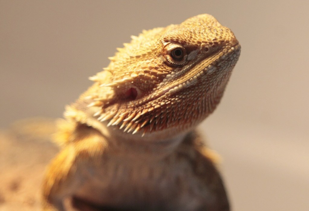 Bearded Dragon Tank Which Bearded Dragon Heat Lamp You