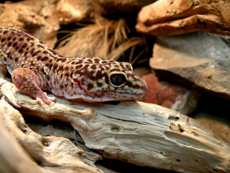 what lights do i need for my leopard gecko