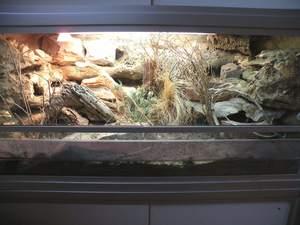 how long do leopard geckos live