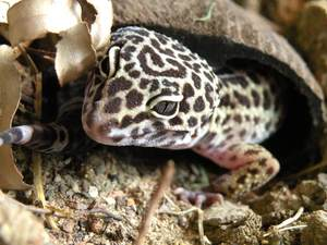 Leopard gecko coconut half