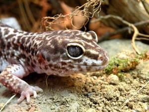 leopard gecko soil