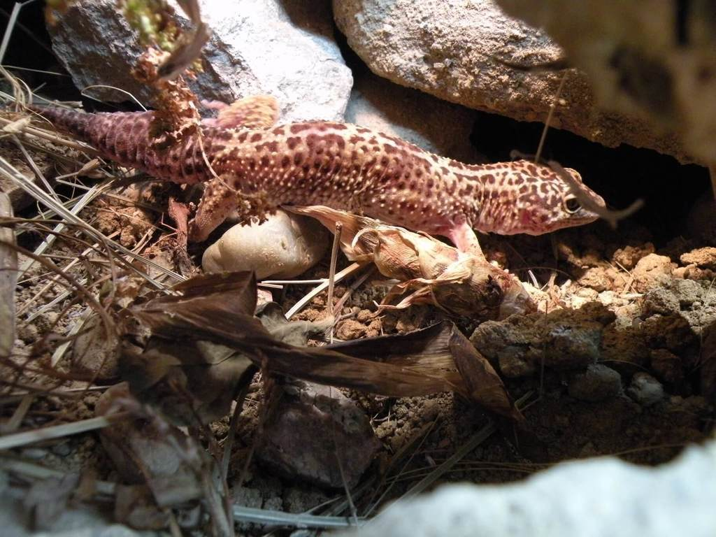 leopard gecko cave