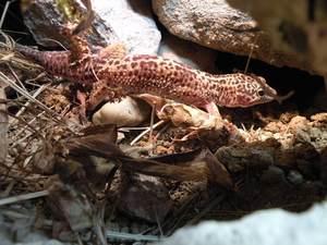 leopard gecko cave
