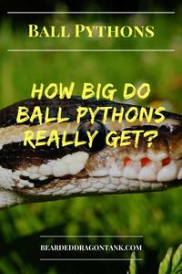 How Long Do Ball Pythons Get