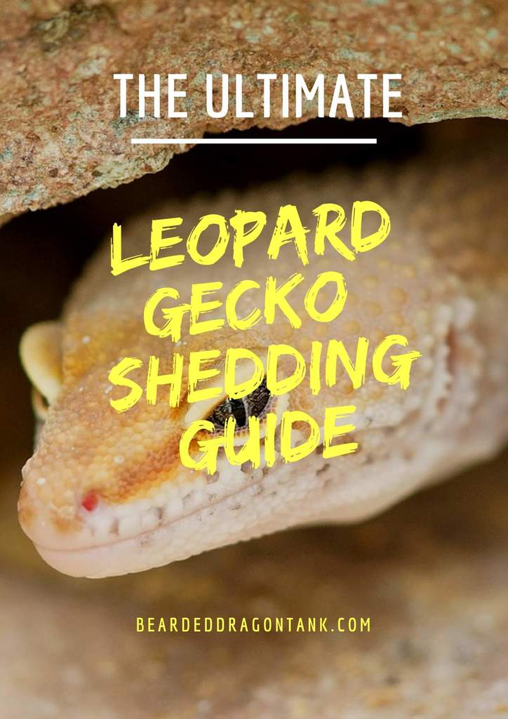 Leopard Gecko Shedding Everything You Need To Know