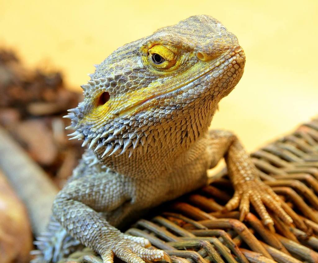 What Food Can You Feed Bearded Dragons