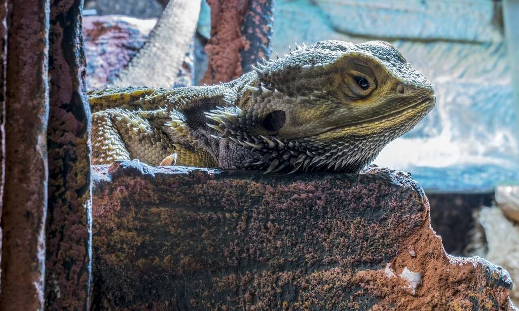 bearded dragon is lethargic
