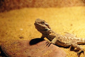 bearded dragon vitamins