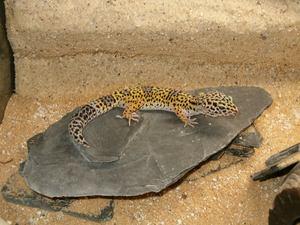 how often do leopard geckos shed