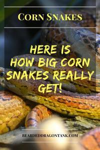How Big Do Corn Snakes Get