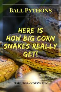 How Big Do Corn Snakes Get