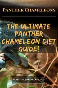 Panther Chameleon Diet