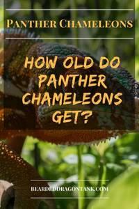 Panther Chameleon Lifespan