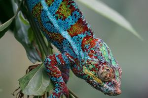 chameleon heat