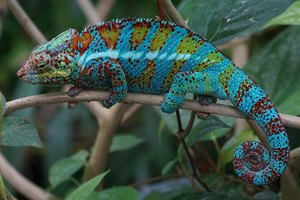 how long do panther chameleons live