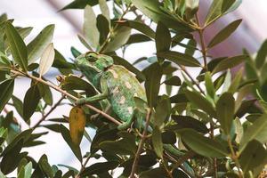 how old do veiled chameleons get