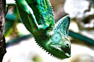 veiled chameleon age