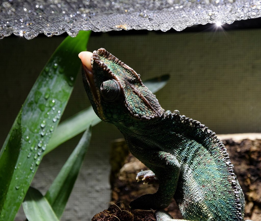 How To Setup The Perfect Panther Chameleon Cage Easily