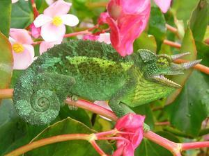 chameleon setup