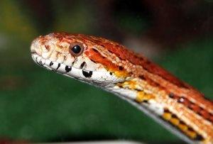 corn snake temp