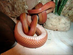 corn snake size