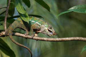 panther chameleon food
