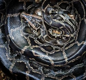 How often do ball pythons shed