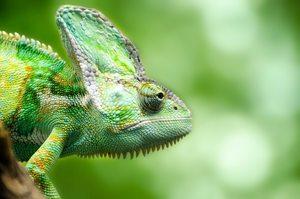 veiled chameleon mist